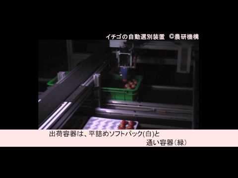 イチゴの自動選別装置 Automatic Sorting and Packing System for Strawberries