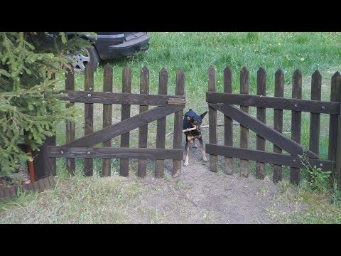 Video: Incredibly clever dog !!! - See how a Pincher can handle a stick !