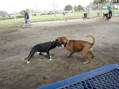 My Pit Bull type attacking a Boxer