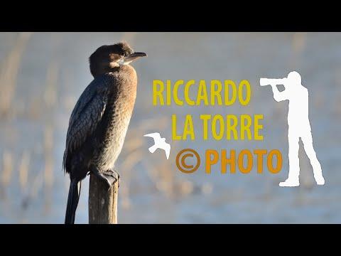 Marangone minore - Phalacrocorax pygmeus