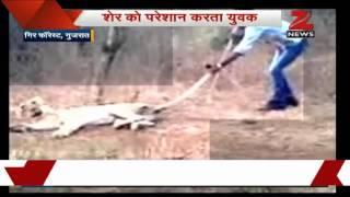 Watch: Man agitates a lion in Gir forest - ZEENEWS