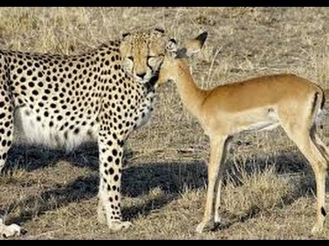LEOPARD SAVE DEER`S LIFE TO JACKLE || AMAIZING VIDEO 2014