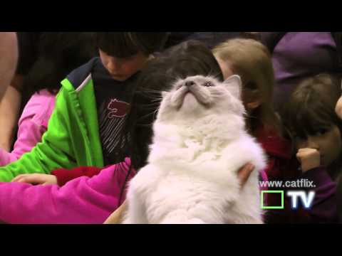 meet the ragdoll! cat show music video