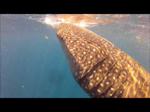 Whale Shark Adventure 2012