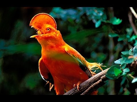 Pássaros Silvestres BR (Brazilian Birds) part 6: Galo da Serra, Saí Azul, Tangará, Tico-Tio, Tié