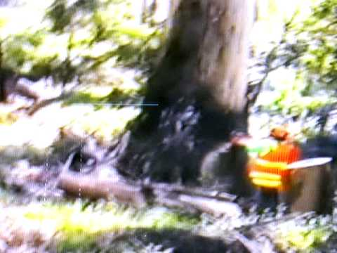 Large Tree Felling and Tree Cutting near house Ace Tree Video
