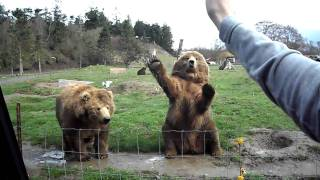 Waving Bears in Seattle game farm