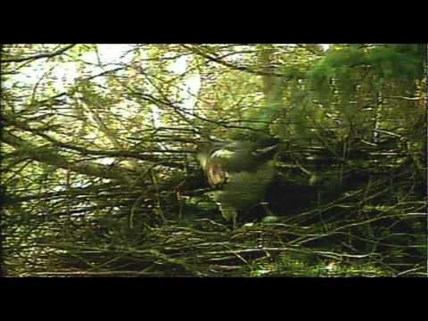 New Forest Goshawk - Mating