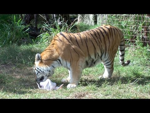 TIGERS & TURKEYS: A Love Story....