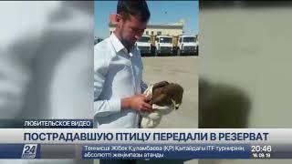 В Атырау спасают краснокнижного орла