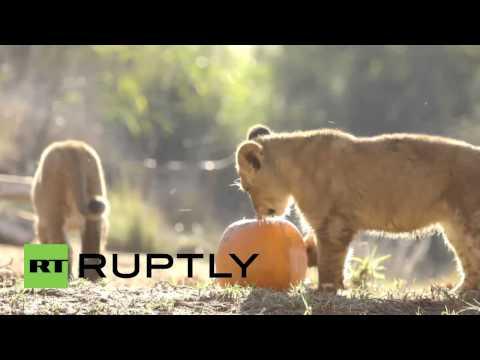 Adorables cachorros de león juegan con sus