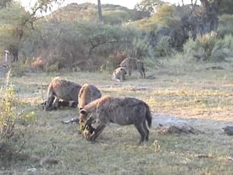 Huge Pack of Hyenas With Young Male Lion