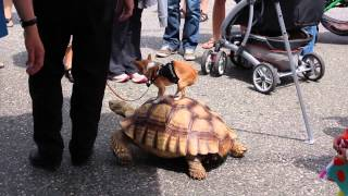 Chihuahua Rides Turtle Video