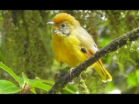 Wildlife of Thailand - Doi Inthanon National Park