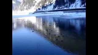 Uzungöl'de Yaban Ördeklerin Suyla Dansı