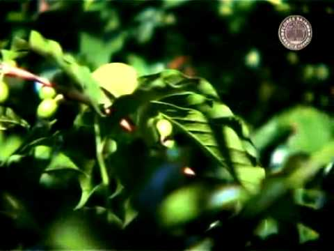 Flores Bajawa Arabica Coffee | Video Profile | .mp4