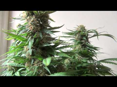 WeedWizard OMMP Strain Report:  Kalashnikova 10312011 001.MTS