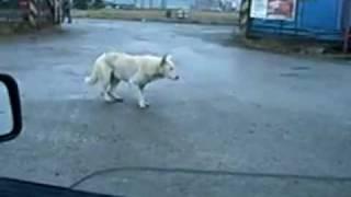 ノリノリダンスを披露する犬。車内の音楽聞こえてる?縦ノリです。