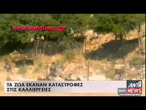 newsontime.gr - Ρόδος : Επιχείρηση για να μαζέψουν  τα κατσίκια που αλώνηζαν