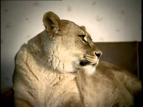 Sky TV 'Lions Shagging' (2002) by DDB via StoPress