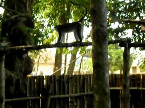 Monkeys at Tafi Atome | Ghana | Akwaaba Golden Tours