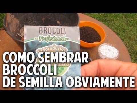 Cómo plantar Brocoli paso a paso en maceta - Parte 1 Siembra - necesidades de Sol y Riego