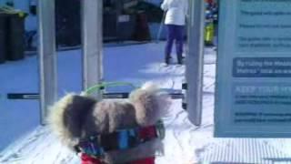 Afbeeldingsresultaat voor koala ski