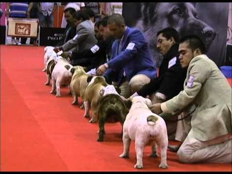 EXPOCAN MEXICO Especializada Bulldog Ingles DIA 1 - Bloque 1