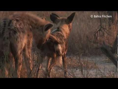 Mating Hyenas Short Version - VidoEmo - Emotional Video Unity