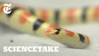How This Snake Swims Under Sand | ScienceTake - THENEWYORKTIMES
