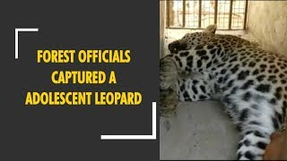 Forest officials captured adolescent leopard in UP's Bahraich district - ZEENEWS