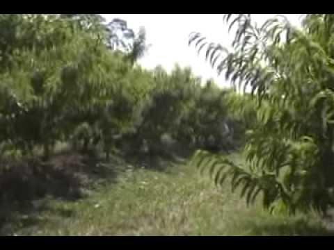 Agricultura de precisão na cultura do pessegueiro