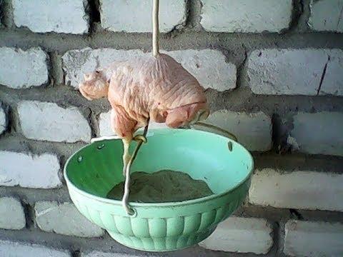 Выращивание опарышей домашних условиях