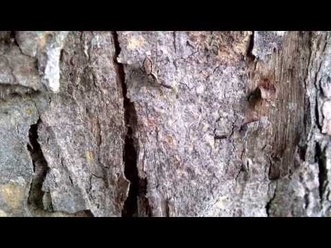 Jumping spider takes down bark mantis juve