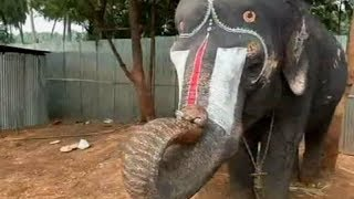 Elephant plays mouth organ at rejuvenation camp - TIMESOFINDIACHANNEL