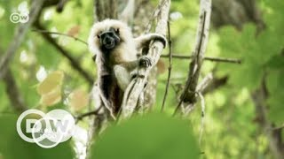 Disney helps save Columbia's cotton-top tamarin | DW English - DEUTSCHEWELLEENGLISH