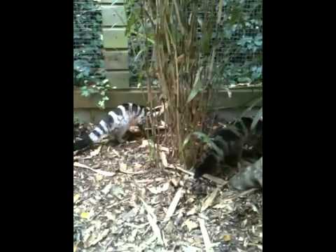 Shaldon Zoo Owston s palm civets