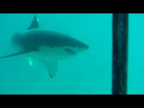 Great White Shark - Cage Diving Gansbaai 2009