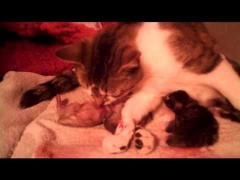 Daisy having kitten number 3 - WARNING Graphic video of live birth