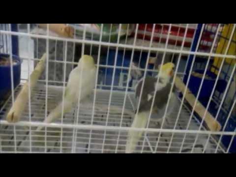 Calopsita macho cantando fêmea para acasalar! Male cockatiel singing female mating song!