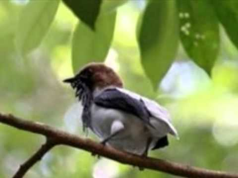 Aves do Brasil - Arapongas brasileiras. Ouçam seu canto.