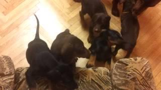 Замечательные щенки добермана