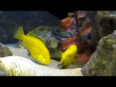 African cichlids mating ritual
