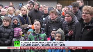 Norway zoo criticized for killing zebra and feeding it to tigers (DEBATE) - RUSSIATODAY