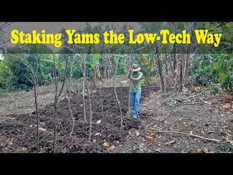 Staking Yams the Low-Tech Way