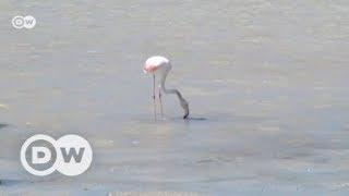 Spain: Flamingos vs tourists on Ibiza   DW English - DEUTSCHEWELLEENGLISH