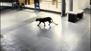 Panic After Panther Seen At Shopping Mall, Hotel Basement In Thane - NDTV