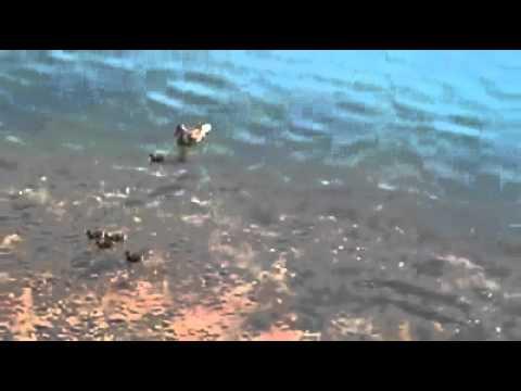 Peixe atacando um pato