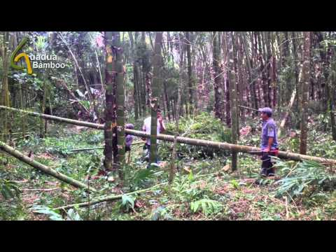 Guadua Bamboo Harvest and Treatment Process