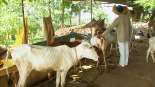 25 Jun, 2018: Professor opens his farmland for injured, aged cattle in southernIndia - ANIINDIAFILE